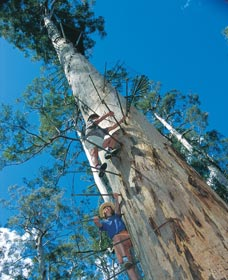Dave Evans Bicentennial Tree - Accommodation Gold Coast