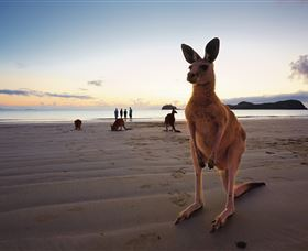 Wallabies on the Beach at Cape Hillsborough - Accommodation Gold Coast