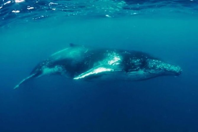 Humpback Whale Swim Tour